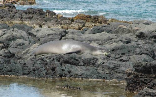 This picture is of a monk seal, an endangered animal, at Ka'ena Point State Park, Oahu, Hawaii.