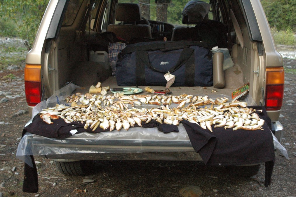 1995 Toyota 4Runner drying porcini or king bolete mushrooms, Elaho Valley, B.C.